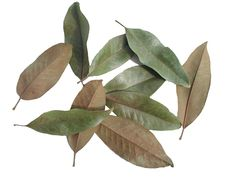 MAGNOLIA LEAVES  --  Magnolia leaves will add a nice touch to a variety of your floral arrangements. The leaves have been dried, but are not brittle. The top is a Basil/Olive green color, while the underside has shades of Mocha and Cinnamon. Some leaves are naturally mottled on both sides, which only adds character to this unique foliage. Magnolia makes a wonderful Wreath or Centerpiece for the holidays.  --  http://www.flowerdepotstore.com/magnolialeaves.html