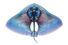 Butterfly ray (Gymnura sp.), cleared and stained. Beautiful!