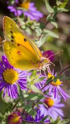 yellow butterfli, natur color