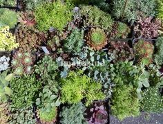 """Succulents at the Farmers Market"" by Kathy Yaude, Los Angeles, California // Succulents, Sedums, Aeonium, photo by K. Yaude taken at the Bellingham Washington farmers market. Absolutely one of the best I've ever been too. // Imagekind.com -- Buy stunning, museum-quality fine art prints, framed prints, and canvas prints directly from independent working artists and photographers."