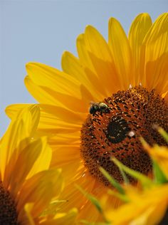 Bumble Bee & Sunflower   by Tracie Conner