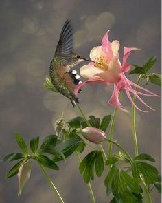 hummingbird and pink columbine