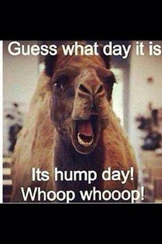 hump day ... camel ...