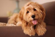 anim, cockapoo, dog lovers, cutest dogs, dream homes, dog cat, ador, puppi, pet training