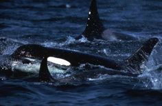 Killer Whale Populations Took Deep Dive During Ice Age