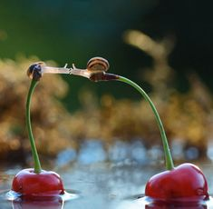 two little snails, drifting away from each other on cherries and trying to kiss