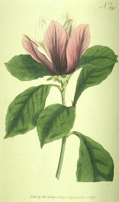 botanical vtg print purple magnolia