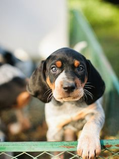 blue tick coon hound Bluetick Coonhound #Puppy #Dog #Hound #Dogs #Puppies