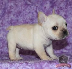 I need this puppy <3 French bulldog