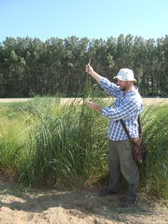 Elytrigia elongata in Spain might achieve 1,90mts (550mm rains, sorghum typical region). Perennial biomass from Tall wheatgrass will pobably produce lower costs than sorghum under rainfed conditions where switchgrass and miscanthus cannot be established without irigation support in spring!