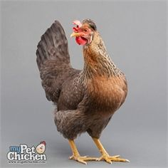 Cream Legbar from My Pet Chicken