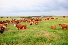 Beef Cattle picture!