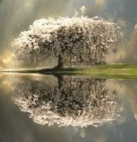 white flowering tree reflected in the water. wow