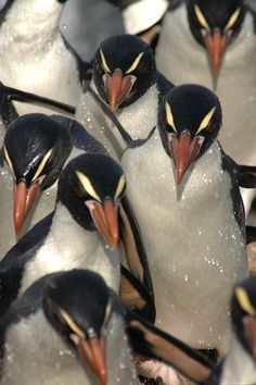 Snares Crested Penguin mass. They breed on The Snares, a group of islands off the southern coast of the South Island of NZ