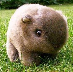 Baby wombats are magical!!!