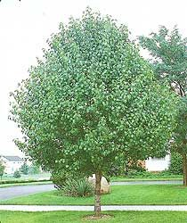 Redspire Flowering Pear. 35'-45' high. 20-25' spread. Flowering clusters of 1 inch white flowers. Red, purple, yellow, green leaves in the fall. Narrow shape. Feed with a general purpose fertilizer before new growth begins in spring.