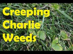 How TO get Rid of Creeping Charlie or ground ivy (Part #1)