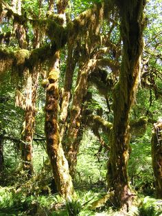 Hoh Rainforest, Olympic National Park, Washington state