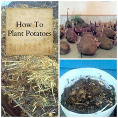 How To Plant Potatoes @ Farming My Backyard
