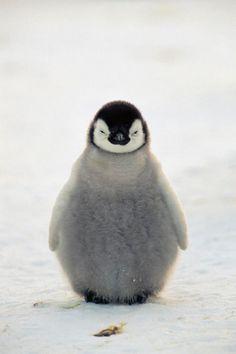 anim, babi penguin