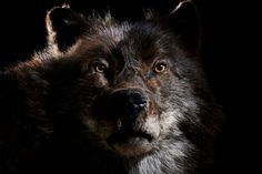 Soon after moving to a new ranch in central Utah, a family found an unusually large wolf sitting at their front door. Though the strange animal acted as if it were their pet, when it tried to snatch a farm animal, the rancher shot the creature 6 times at point-blank range. But his bullets had no effect. Not even bleeding, the wolf trotted across a field and disappeared. Since then, the ranch has been plagued by a strong musky odor and the constant buzz of ghostly voices talking day and night.