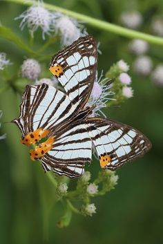 Map-wing Butterfly (Cyrestis maenalis negros); by BJSmit, via Flickr