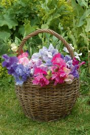 Sweet peas. The quintessential cottage garden plant. Grow them in the sun, against a fence or up a trellis/obelisk and then revel in the delightful fragrance. And the more blooms you cut, the more you'll get!