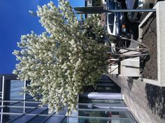 Don't know what type of tree this is... But it's pretty and blooms white flowers!!