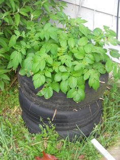 How To Grow Potatoes In a Tire Stack