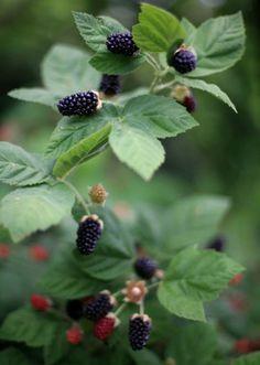 blackberry-bush pruning