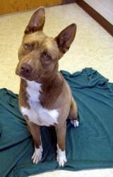 GREGORY is an adoptable Husky Dog in Bowling Green, OH. Gregory is listed as a husky mix, looks like maybe akita too, about a year old, super friendly, gorgeous dog. Available 6-28-13...