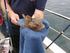 A scorpionfish or sea scorpion's spikes are capable of causing serious damage to flesh and they should be handled very carefully. This fish was caught fishing over a wreck in the Irish Sea, just out of Loch Ryan.