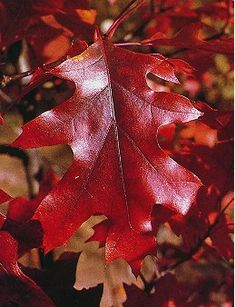 RED - fall leaves