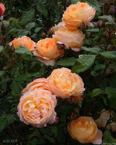 Lady Emma Hamilton roses.