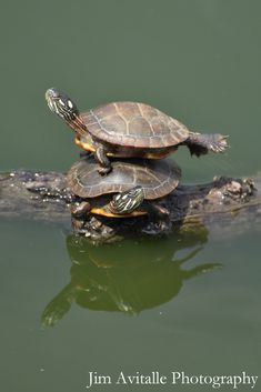 Clever turtle! Painted turtles from Project Noah.