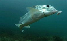Callorhinchus milii, elephant shark, ghost shark #waters