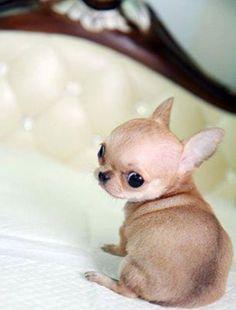 Cute Chihuahua #dogs #animal #chihuahua