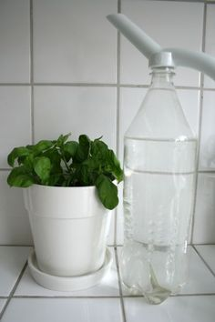 Growing basil by dividing a store-bought plant instead of growing from seed.