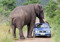 funny animals, elephants, southafrica, african safari, south africa, trunks, national parks, funny photos, roads