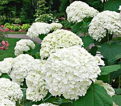 Incrediball Hydrangea, 4-5' height, goes from green to white to green again