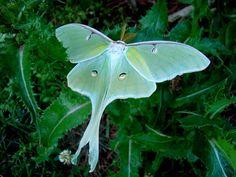 Luna Moth butterfli, luna moth, critter, fauna