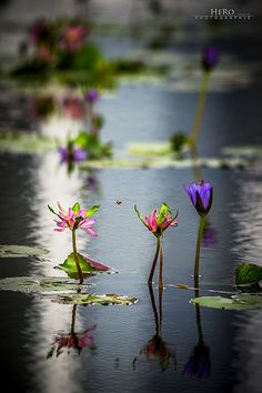 Singapore / Nymphaea by Romeo Heger @Kyoco