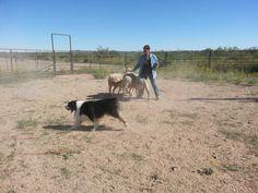 Australian shepherd herding #australianshepherd #herding #LasCruces #ElPaso #NewMexico australianshepherd herd, herd australianshepherd, australian shepherd