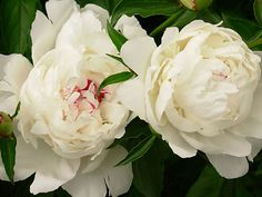 These are the like the family heirloom peonies in our yard.