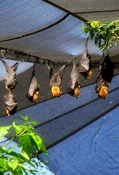 #PinUpLive - Australian Flying Foxes