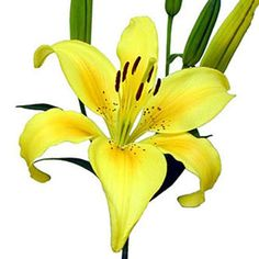 Lily. Natural blooming season: Spring, Summer, Fall. Relative cost: Mid-High