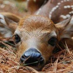 beautiful baby deer