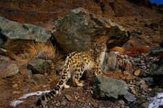 The week in wildlife – in pictures  From a rare snow leopard snapped in the Himalayas to a praying mantis sitting patiently on a blossom, here is a selection of the week's finest images from the natural world.