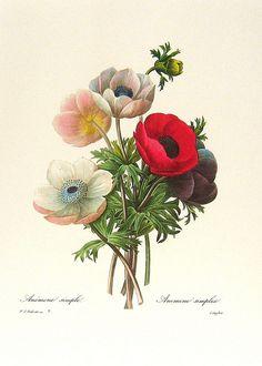 Anemone by Pierre-Joseph Redouté