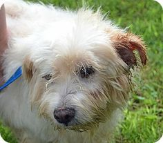 Gin is a 9+ year old female Terrier/Scottie mix in Searcy, AR. She is a very sweet girl that seems to be mostly deaf and in great need of a grooming as she was terribly matted. Gin would need a home with a fenced yard to keep her safe when outside and lots of love to live out the rest of her years. Contact The Humane Society of Searcy @ 501-268-3535 or hss@cablelynx.com.